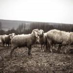 La joven que se hizo pastora en los Pirineos y ya tiene su propio rebaño de 400 ovejas