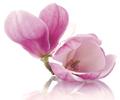 Magnolia, Terapias Integrativas
